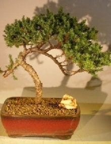 Juniper Bonsai Tree For Sale #38 - Trained (juniper procumbens nana)