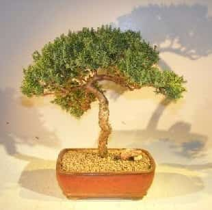 Juniper Bonsai Tree For Sale #4 - Trained (juniper procumbens nana)