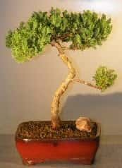 Juniper Bonsai Tree For Sale #29 - Trained (juniper procumbens nana)