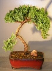 Juniper Bonsai Tree For Sale #28 - Trained (juniper procumbens nana)