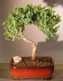 Juniper Bonsai Tree For Sale #30 - Trained (juniper procumbens nana)