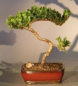 Juniper Bonsai Tree For Sale #12 - Trained (juniper procumbens nana)