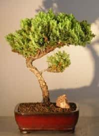 Juniper Bonsai Tree For Sale #18 - Trained (juniper procumbens nana)