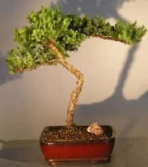 Juniper Bonsai Tree For Sale #19 - Trained (juniper procumbens nana)