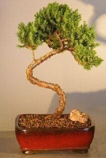 Juniper Bonsai Tree For Sale #23 - Trained (juniper procumbens nana)