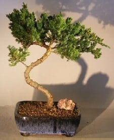 Juniper Bonsai Tree For Sale #33 - Trained (juniper procumbens nana)