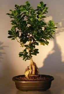 Ginseng Ficus Bonsai Tree For Sale Root Over Rock Style #2 (Ficus Retusa)