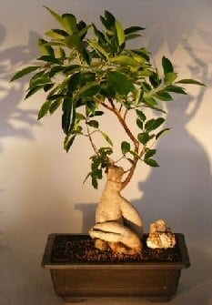 Ginseng Ficus Bonsai Tree For Sale #2 (Ficus Retusa)