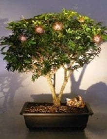 Flowering Dwarf Powder Puff Bonsai Tree For Sale (Calliandra Haematocephala)