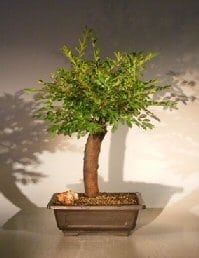 Dwarf Chinese Elm Bonsai Tree For Sale (ulmus parvifolia) 'yatsubusa'