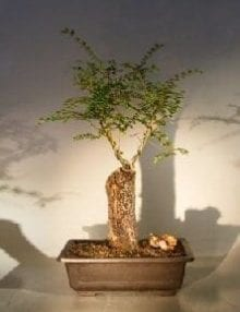 Cork Bark Elm Bonsai Tree For Sale (ulmus neri)