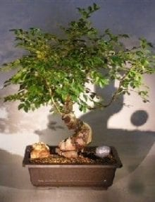 Dwarf Chinese Elm Bonsai Tree For Sale Variegated (ulmus parvifolia) yatsubusa