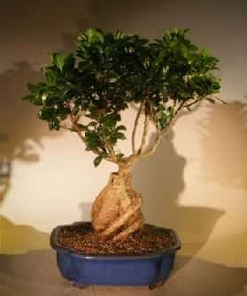 Ginseng Ficus Bonsai Tree For Sale #1 (Ficus Retusa)