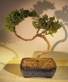 Juniper Bonsai Tree For Sale #40 - Trained (juniper procumbens nana)