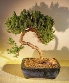 Juniper Bonsai Tree For Sale #41 - Trained (juniper procumbens nana)