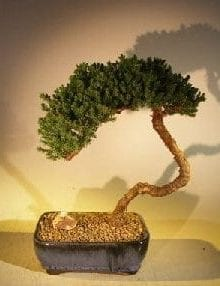 Juniper Bonsai Tree For Sale #43 - Trained (juniper procumbens nana)