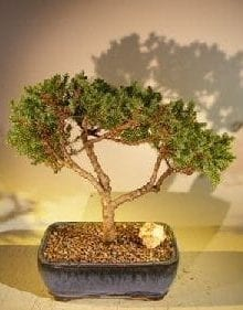 Juniper Bonsai Tree For Sale #44 - Trained (juniper procumbens nana)