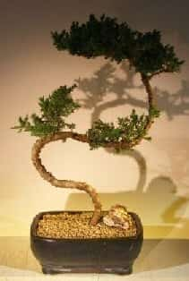 Juniper Bonsai Tree For Sale #52 - Trained (juniper procumbens nana)