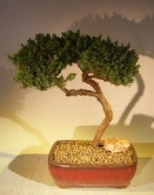 Juniper Bonsai Tree For Sale #47 - Trained (juniper procumbens nana)