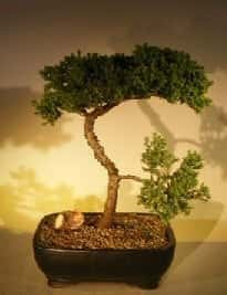 Juniper Bonsai Tree For Sale #50 - Trained (juniper procumbens nana)