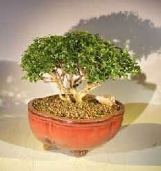 Japanese Kingsville Boxwood Bonsai Tree For Sale #1 (buxus microphylla compacta)