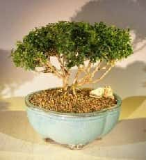Japanese Kingsville Boxwood Bonsai Tree For Sale #2 (buxus microphylla compacta)