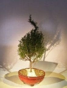 Flowering Rosemary Bonsai Tree For Sale #1 (rosmarinus officinalis)