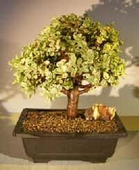 Baby Jade Bonsai Tree For Sale #1 - Variegated (portulacaria afra variegata)
