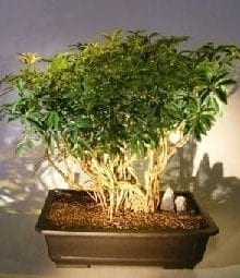 Hawaiian Umbrella Bonsai Tree For Sale Banyan Style #7 (arboricola schfflera)