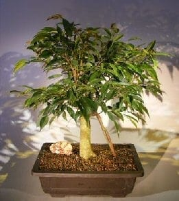 Ficus Oriental Bonsai Tree For Sale Banyan Roots (ficus orientalis)