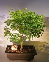 Flowering Brazilian Raintree Bonsai Tree For Sale #2 (pithecellobium tortum)
