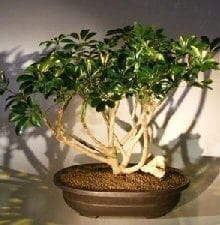 Hawaiian Umbrella Bonsai Tree For Sale (arboricola schfflera)