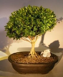 English Boxwood With Exposed Roots Bonsai Tree For Sale (buxus semperuirens)