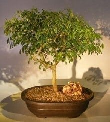 Flowering Brazilian Raintree Bonsai Tree For Sale #3 (pithecellobium tortum)