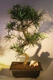 Flowering Podocarpus Bonsai Tree For Sale Curved Trunk Style #1 (podocarpus macrophyllus)