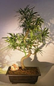 Flowering Podocarpus Bonsai Tree For Sale Curved Trunk Style #2 (podocarpus macrophyllus)