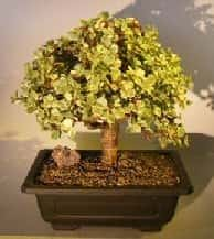 Baby Jade Bonsai Tree For Sale #2 - Variegated (portulacaria afra variegata)