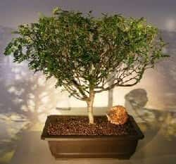 Flowering Chinese Pepper Bonsai Tree For Sale #2 (zanthoxylum piperitum)
