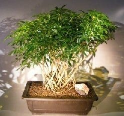 Hawaiian Umbrella Bonsai Tree For Sale Banyan Style #1 (arboricola schfflera)