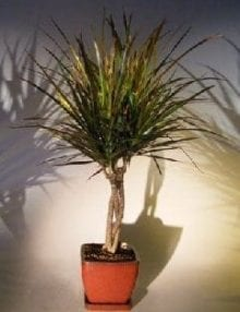 Dracena Bonsai Tree For Sale Braided Trunk (Dracena Marginata)