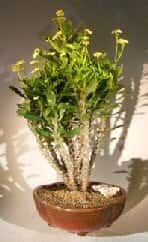 Flowering Crown of Thorns Bonsai Tree For Sale #2 - Cream / Yellow (euphorbia milii)