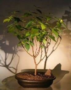 Red Twig Dogwood Bonsai Tree For Sale (cornus alba)