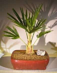 Windmill Palm Bonsai Tree For Sale (trachycarpus fortunie)