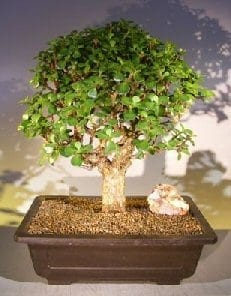 Baby Jade Bonsai Tree For Sale #2 (Portulacaria Afra)