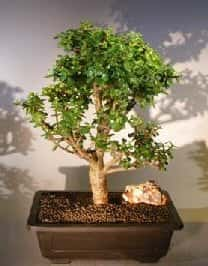 Baby Jade Bonsai Tree For Sale #6 (Portulacaria Afra)