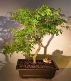 Flowering Brazilian Raintree Bonsai Tree For Sale #4 (pithecellobium tortum)