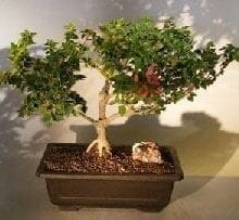 Bougainvillea Bonsai Tree For Sale #2 - Flowering Vine (pink pixie)