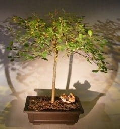 Flowering Weeping Pussy Willow Bonsai Tree For Sale Salix Caprea Kilmarnock Bonsai Tree Gardener