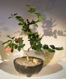 Flowering Dwarf Plum Bonsai Tree For Sale Curved Trunk Style (carissa macrocarpa)