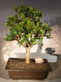 Baby Jade Bonsai Tree For Sale #1 (Portulacaria Afra)